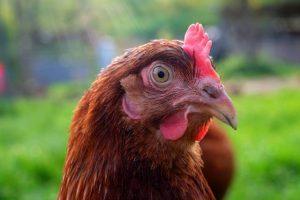 cuanto dura una gallina clueca