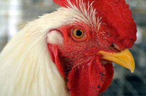 como curar gallina clueca